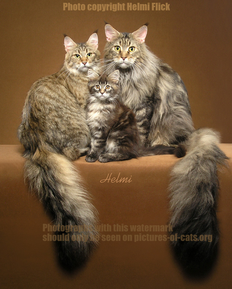 Mother father and offspring Maine Coons brown tabbies