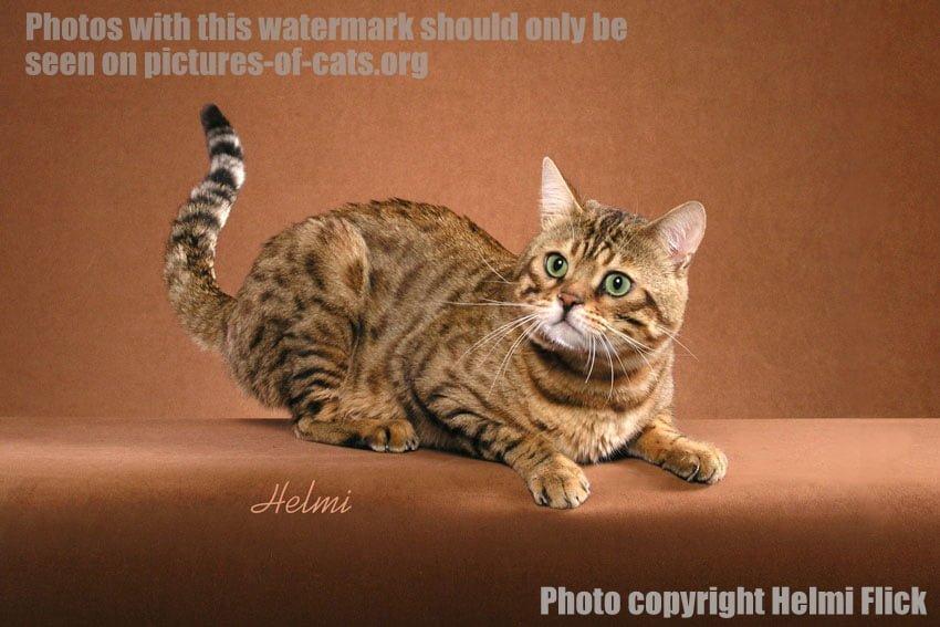 Ruba Bengal Cat Crouching