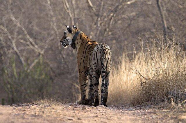 Female Bengal tiger Ranthambhore NP