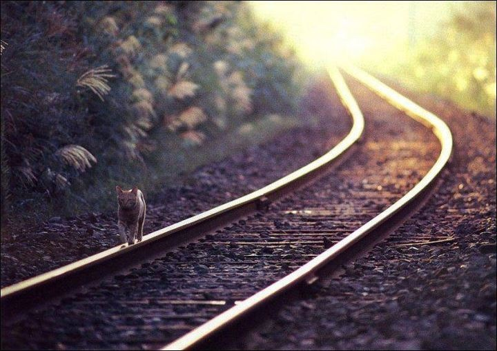 Cat on Railway Track