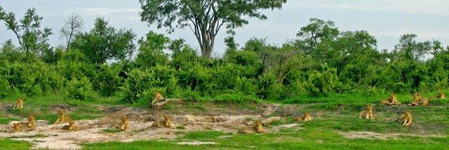 Nineteen Lions Zimbabwe