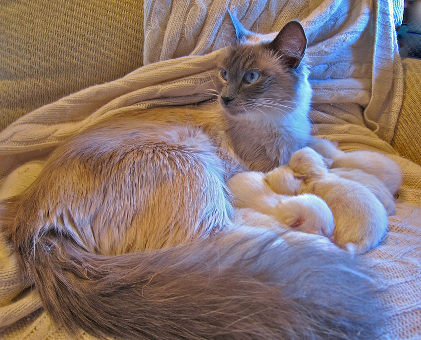 Ragdoll Cat With White Kittens