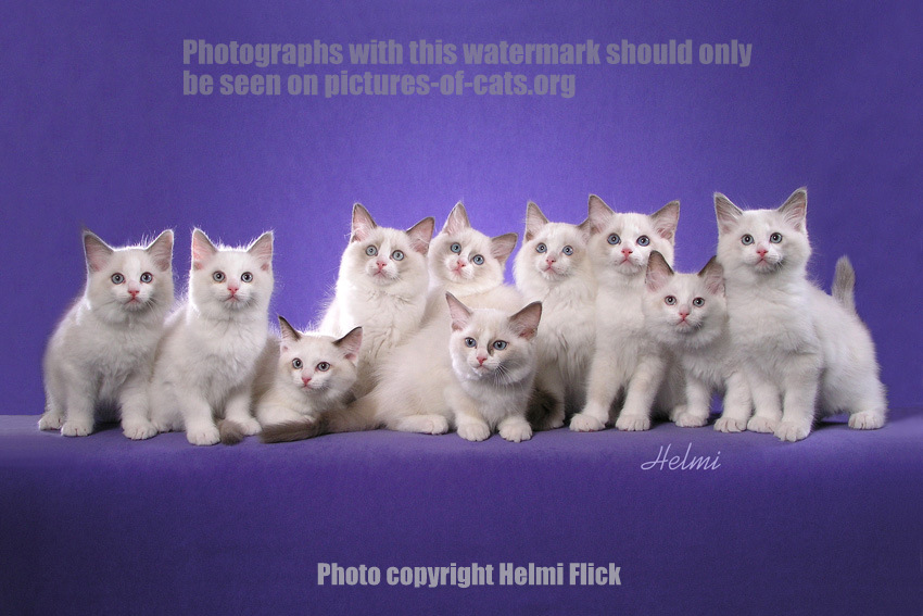 Ten Ragdoll Kittens photographed by Helmi Flick
