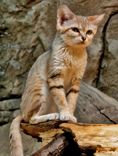 The Adaptations Of The Only True Desert Cat | PoC