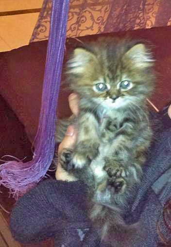 Tabby Shirazi Kitten