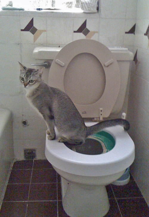 Toilet trained Singapura cat