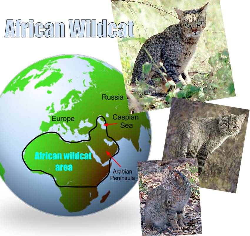 African Wild Cat Facts For Kids