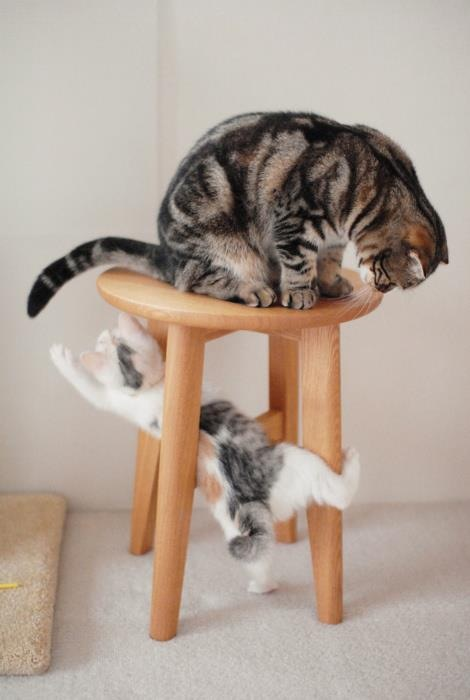 Cat Play Around a Stool