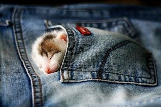 Cut Kitten in a Pocket