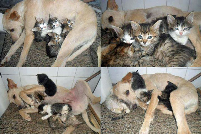 Dog Scamp Saved Kittens