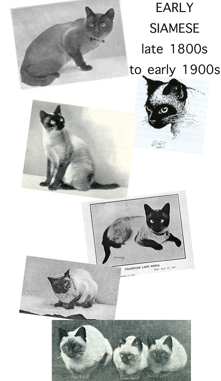 Early Siamese Cats