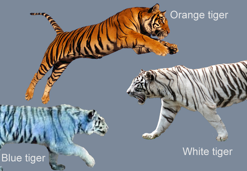 Tiger for Kids  Image credits  Orange tiger by Goneys     White tiger    Tiger Image For Kids