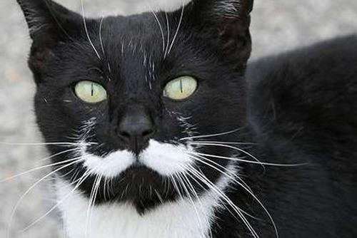 French Cat With Moustache