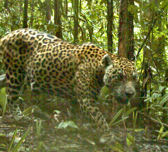 Jaguar on the Prowl