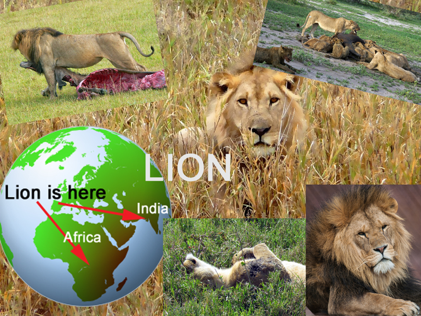 African Lion Basic Facts About Lions Defenders Of Wildlife