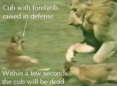 Lion Infanticide