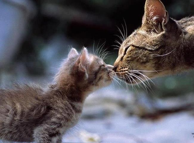 Mother Cat Kisses Her Kitten