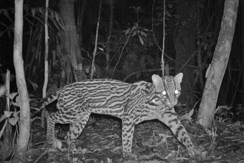 Peruvian Ocelot Caught by Camera Trap