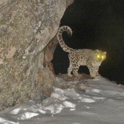 Snow Leopard on Trail at Night