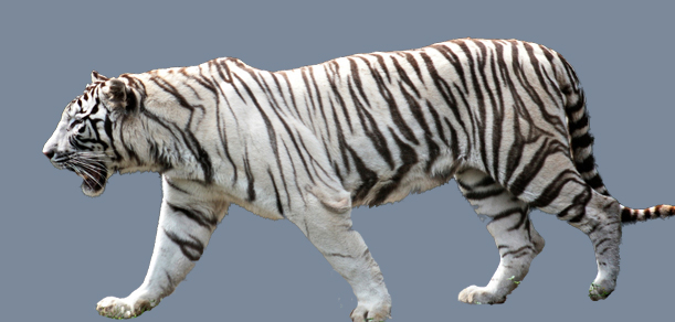 Tiger The Endangered Animal-Essay