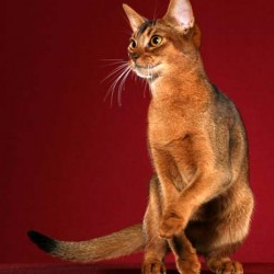 "Abyssinian Cat ""Star"""