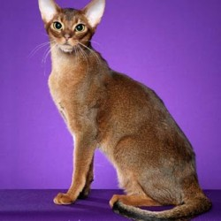 "Abyssinian cat ""Diego"""
