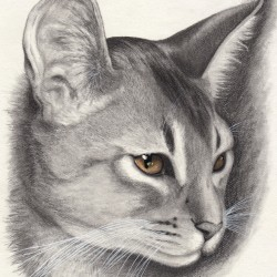 Beautiful Abyssinian Cat Drawing
