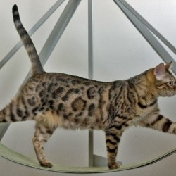 Bengal Cat on Exercise Wheel