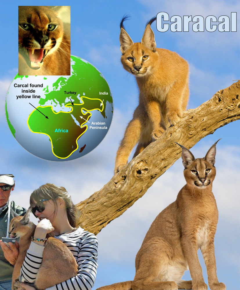 Caracal Facts For Kids
