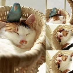 Cat and Budgerigar