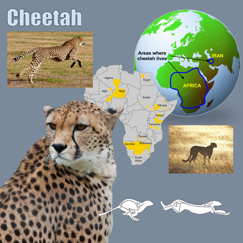 pets: Cheetahs Adaptations