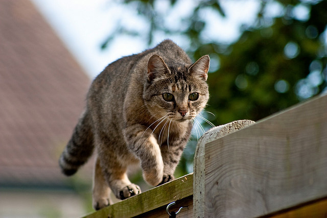 Domestic cat on the prowl