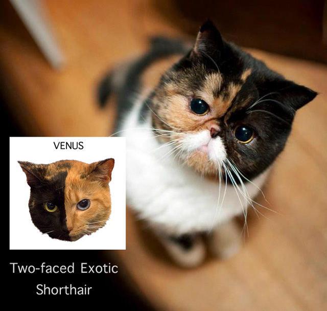 Two-faced Calico Exotic Shorthair