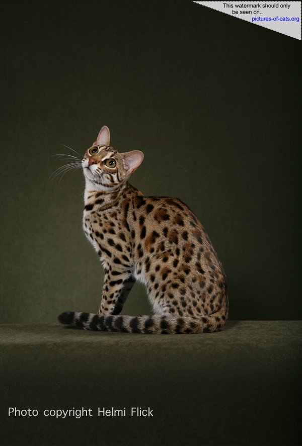 F1 Bengal Cat STRIKER