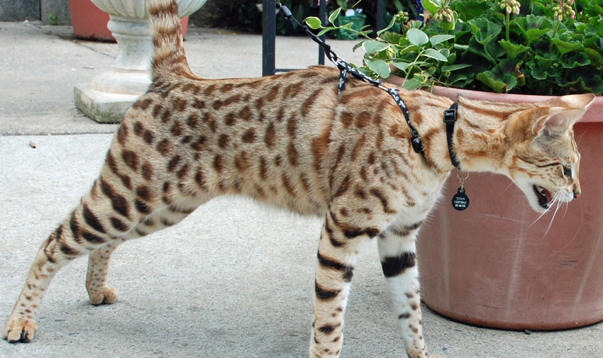 Titan F1 Savannah Cat on Leash