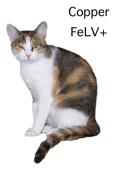 FeLV Postive Cat Copper