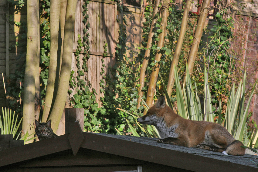 Fox and Bengal Cat
