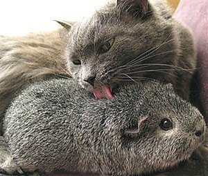 Grey Cat Cares For Grey Hamster
