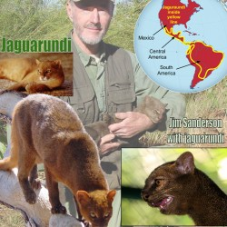 Jaguarundi Facts For Kids