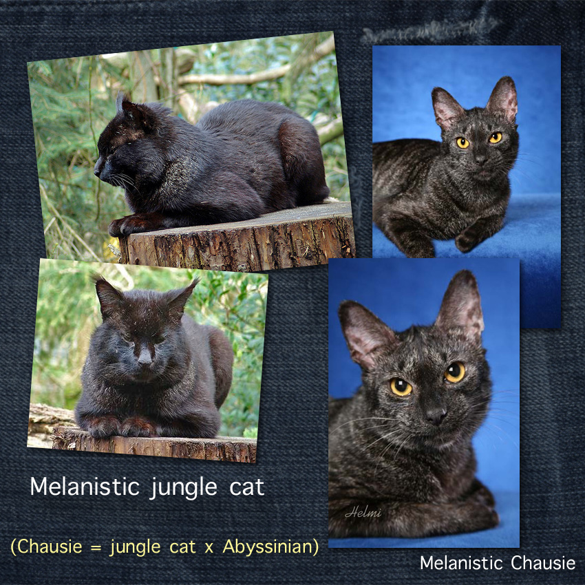 Melanistic Jungle Cat and Chausie. Black cats with a ticked coat (called grizzled in the cat fancy). Photo of Chausie is copyright Helmi Flick.