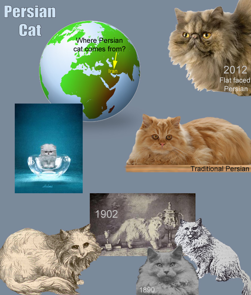 Persian Cat Facts For Kids