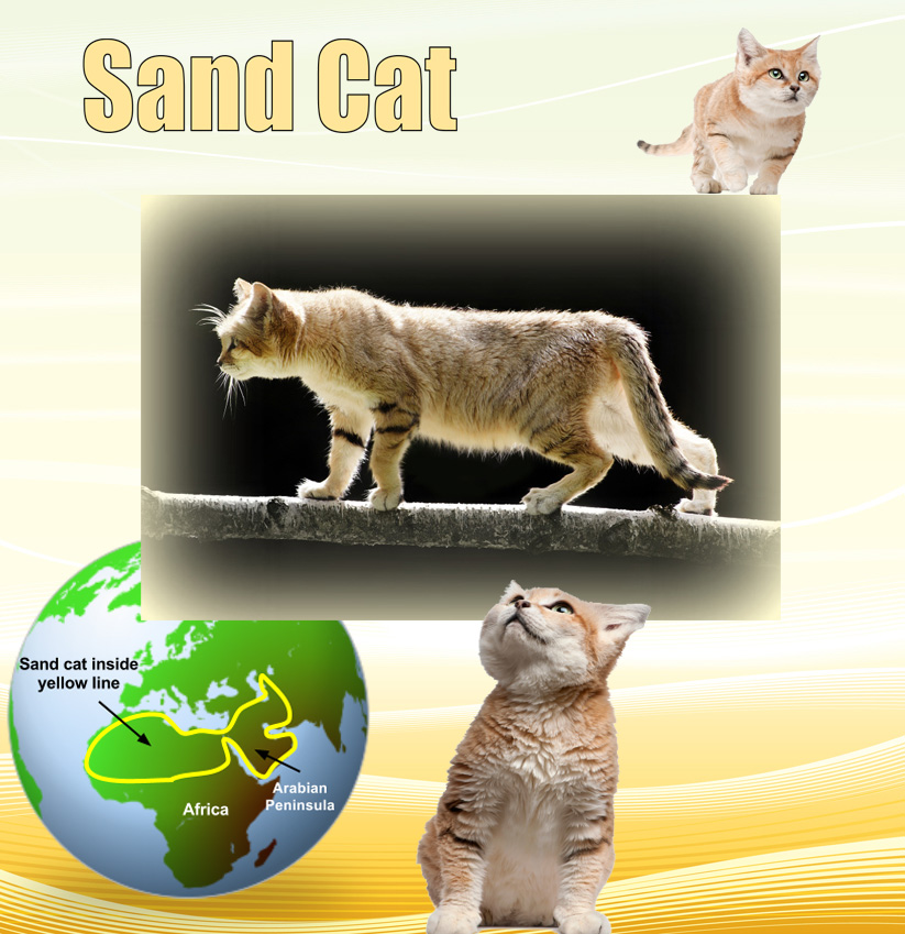 Sand Cat Facts For Kids