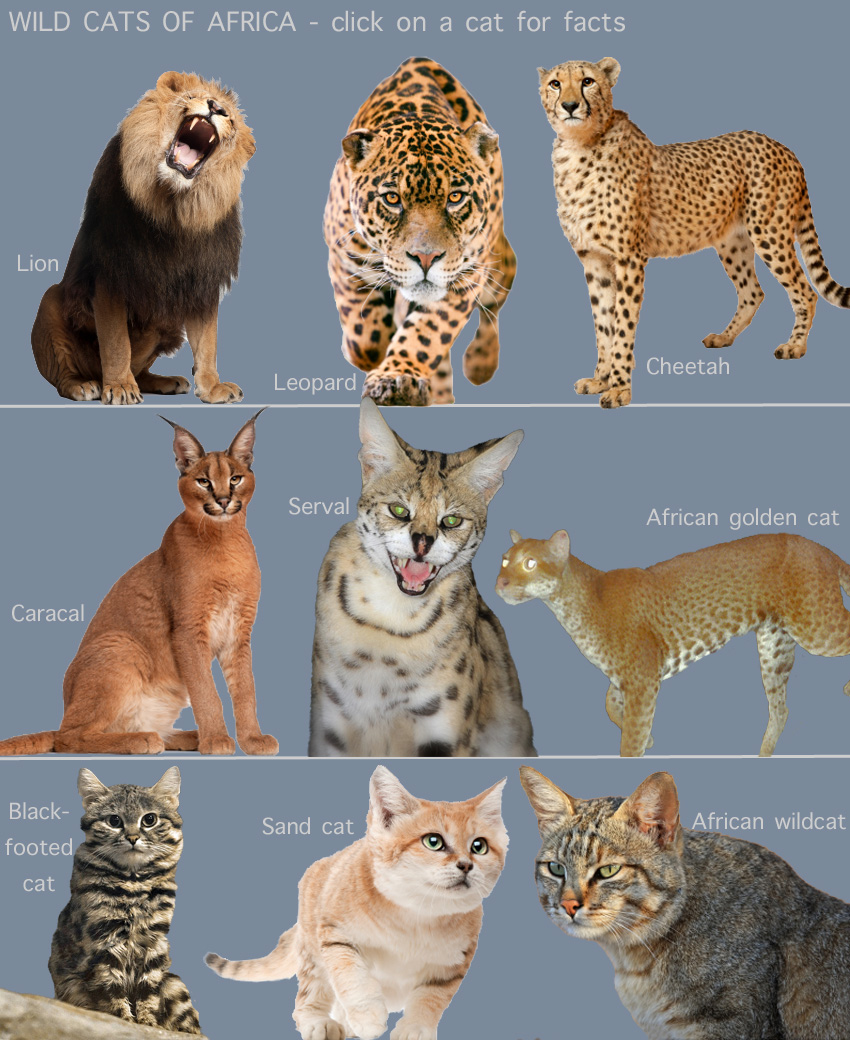 Wild Cats of Africa for kids