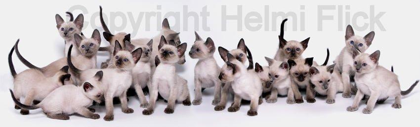 20 Siamese Kittens
