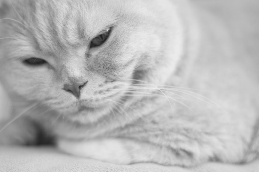 Cream British Shorthair Cat