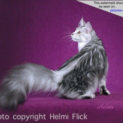 Maine Coon Chel
