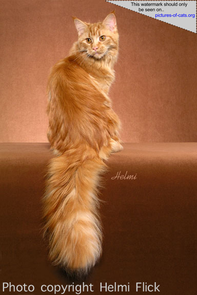 Maine Coon Fire Storm