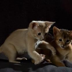 Abyssinian Kittens Pounce