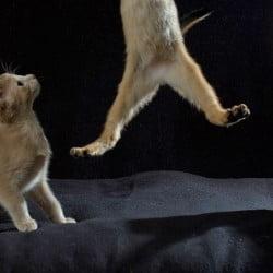 Abyssinian Kitten Leaps with Spectators