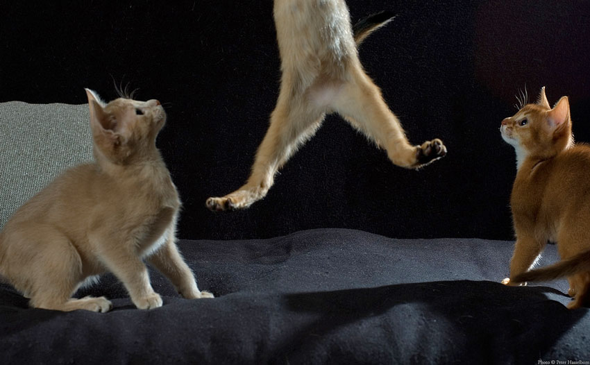 Abyssinian Kitten Leaps with Spectators